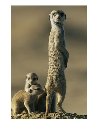 A group of meerkats is called
